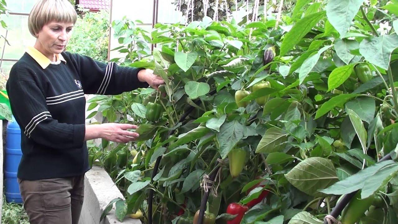 Перец и баклажаны в одной теплице с помидорами и огурцами 34