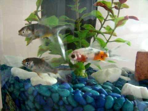 cute goldfish cartoon. my 3 shubunkin goldfish♥