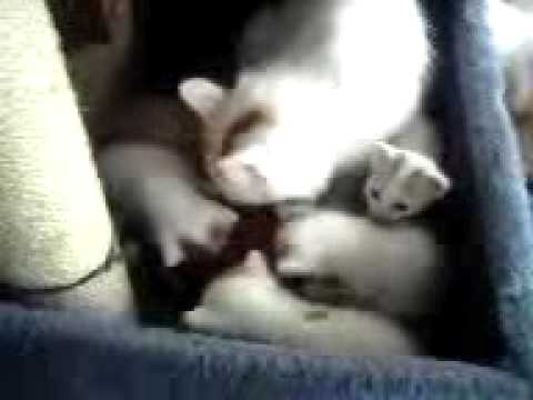 Turkish Van Litter c Sevimli Hayvan video