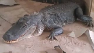 9-Ft Alligator Breaks Into House and Is Discovered Relaxing In Living Room