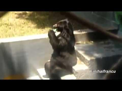 Like Bears Bears Acting Like Humans