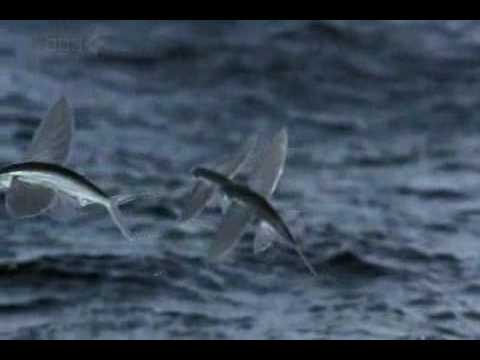 Life flying fish youtube for Flying fish name