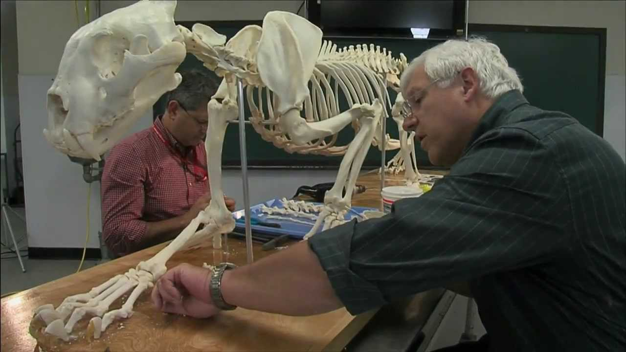 Tiger Skeleton Pictures Sumatran Tiger Skeleton