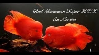 Mexico Red Mammon Fish / Super KKP Taiwan