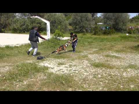 Ivan apbt - Sled weight pulling - Trix and Sports Dog Club ( Greece )
