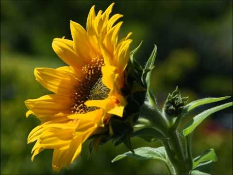 ✿Rebecca Tripp✿ - Waltz of the Sunflower
