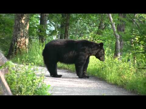 Black Bear With Cub   Encounter In Smoky Mountains  May 2011