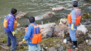 Pigs on the River Shanghai_ Public Outcry Over Corpses  (LinkAsia: 3/15/13)