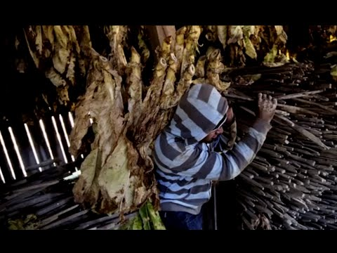 Big Tobacco's Child Workers Endure Health Risks, Harsh Conditions on US Farms