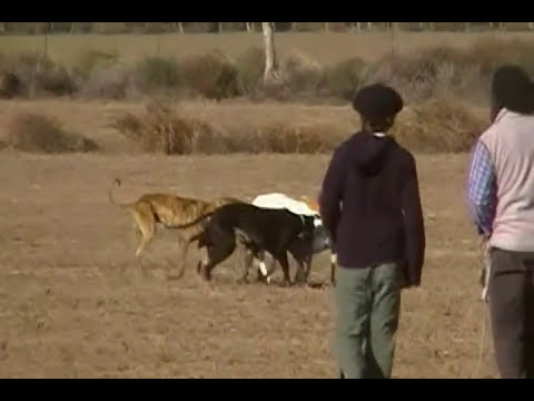 caza de liebre con galgos en Santa Rosa La Pampa Argentina