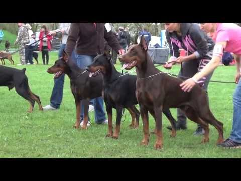 Dobermann Star 2013 - females