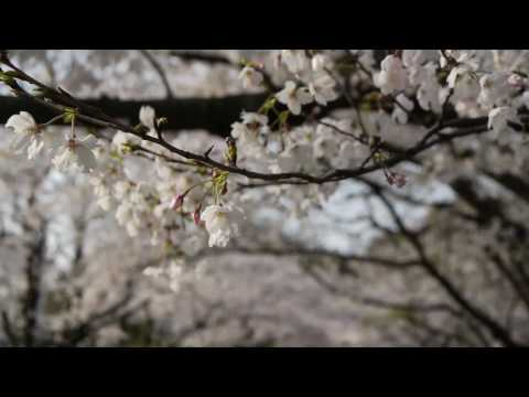 桜Sakura Cherry Blossoms & 花見Hanami + Sunshine & karaoke in the 桜trees in Japan!