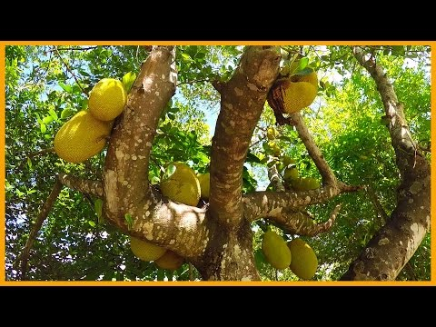 JACKFRUIT MISSION IN CAIRNS AUSTRALIA: MAXIMUM ABUNDANCE FOR MINIMAL EFFORT