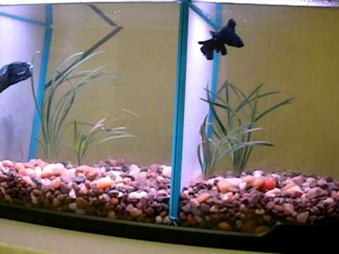 Tanks Dividers Divided Betta Tank