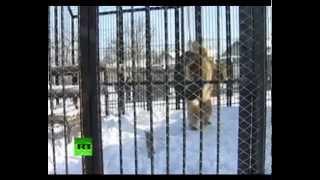 Кунг-фу медведь из Сибири демонстрирует свои умения