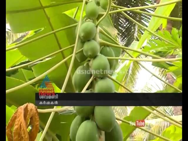 success story of papaya cultivation  Sivamani from palakkad : chuttuvattom News
