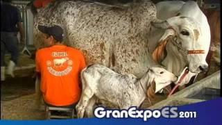 Granexpoes 2011 Concurso leiteiro