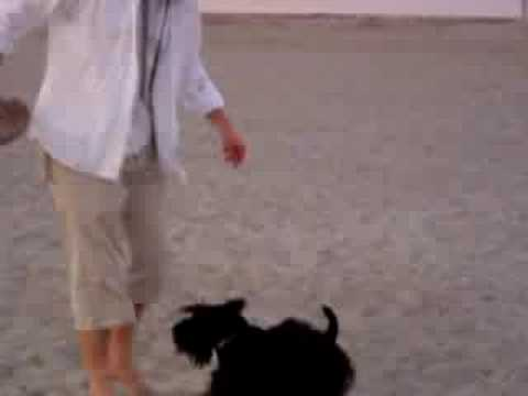 Scottish Terrier Attacking Its Human