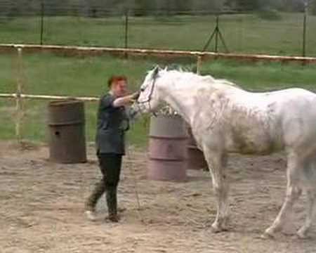 Arabian stallion: consequences of show training