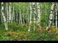 Берёза Музыка Сергея Чекалина Birch Music By Sergei Chekalin Russian Music mp3