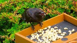 Ein Mädchen fütterte jahrelang Krähen, wie sie ihr gedankt haben ist unglaublich!