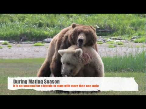 Alaska Bear Viewing Tours Photograph Bears Mating