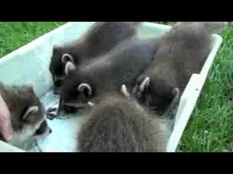 Mushing baby raccoons