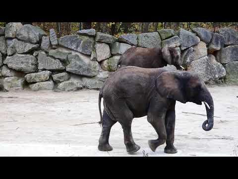 Afrikanischer Elefant Kibali im Tiergarten. Zoo Park Schloss Schönbrunn Wien Walk Lumix fz82/83 Zoom
