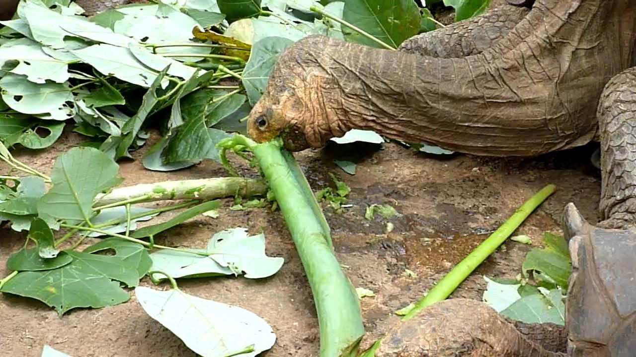Galapagos Tortoises Habitat Galapagos Tortoises Eating