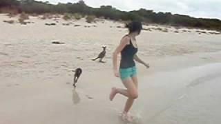 Thumb Pequeños canguros como mascotas en la playa