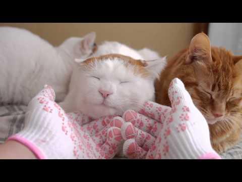 しろの顔マッサージ Massage to Cat