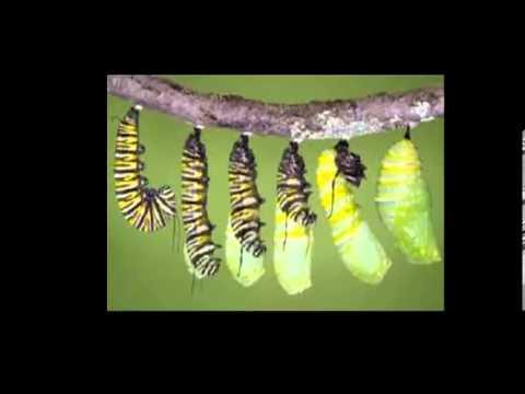 La metamorfosis de la mariposa