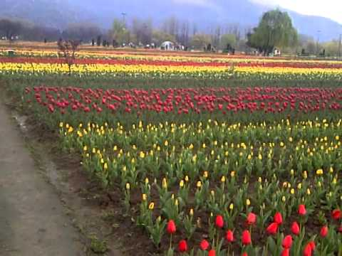Tulip garden srinagar April 2014