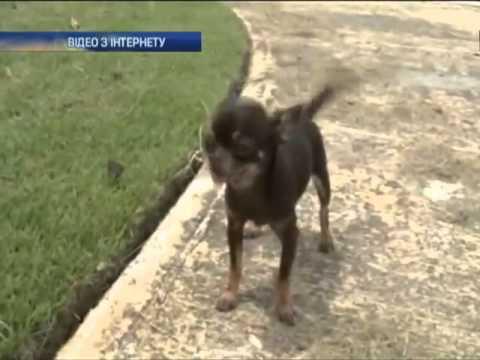 Самой маленькой собакой в мире стала 10-сантиметровая...