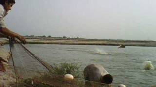 Chuadary fish farm Multan Matital (MASHALLAH)