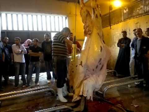 سلخ ناقة (جمل) في مسلخ عمان الاردن