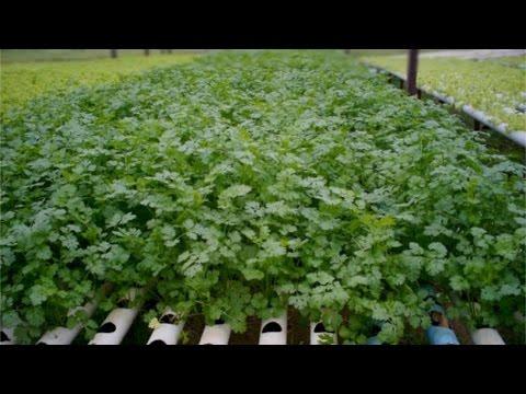 Clique e veja o vídeo Curso Hidroponia de Plantas Medicinais e Condimentares - Hidroponia