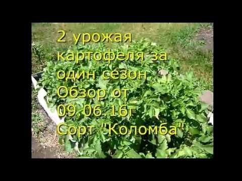 Картофель на даче : как вырастить два урожая за сезон – мой опыт
