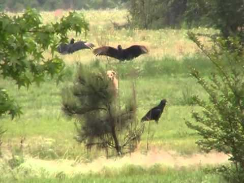 Wildlife - Buzzards Protecting Their Breakfast