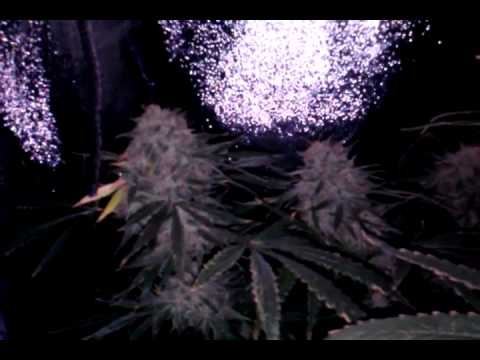 My Dwc Hydroponics Grow  Headband  Part 6 Flushinggg