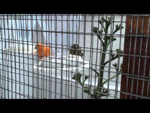 EKSOTERIKI KLOUVA (Iraklio Kritis) gia KANARINIA & KARDERINES k.a. !! AVIARY !! (VIDEO 2)