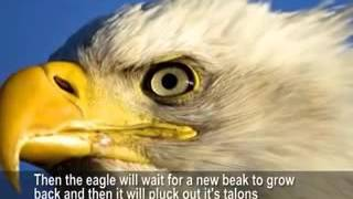 Eagle  renews  it strength