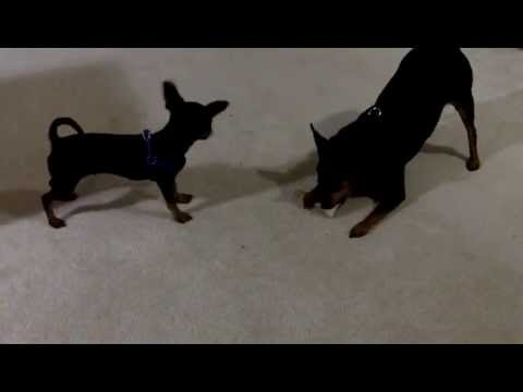 Chihuahua vs. Miniature Pinscher