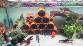 Tôm thủy sinh (crayfish in aquarium)