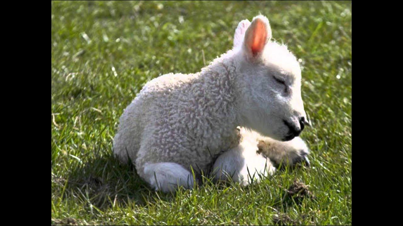 Трахать овечек игра 14 фотография