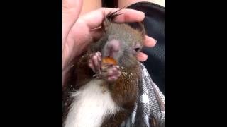 Wiewiórka wcinająca orzeszka