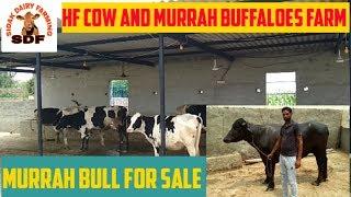 Hf Cow and Murrah buffaloes farm# ਗਾਵਾਂ ਅਤੇ ਮੱਝਾਂ ਦਾ ਫਾਰਮ, date 31-07-2019
