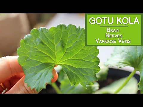 Gotu Kola Benefits for the Brain, the Nerves and Varicose Veins