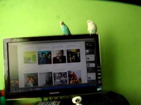 como hacer que un periquito pueda hablar fácil y simple