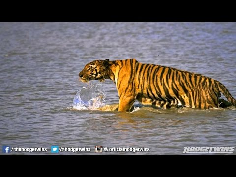 Bengal Tiger Snatches Woman From Boat In India hodgetwins video